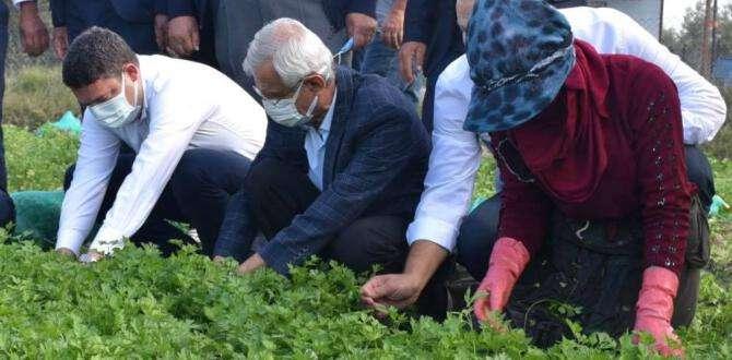 Arsuz'da maydanoz hasadı başladı