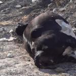 Altınözü'nde ölü ineği yola attılar!